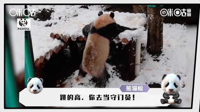 大熊猫只会卖萌?不!还身怀绝技呢