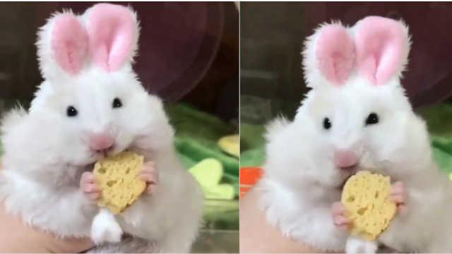 超可爱!粉红色耳朵的兔子啃奶酪