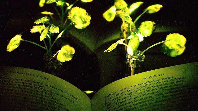 新型发光植物,黑暗环境下太美了