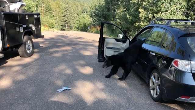 美国这地方,不锁车门大黑熊就进车