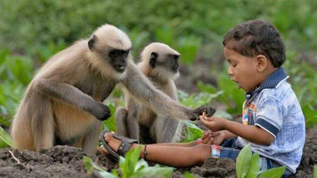 印度猴子为什么要偷走人类的婴儿?