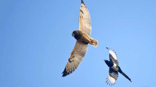 老鹰为什么不敢吃喜鹊?