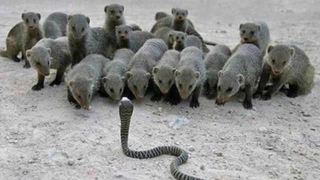 吃蛇界前十排名,平头哥蛇獴谁更强