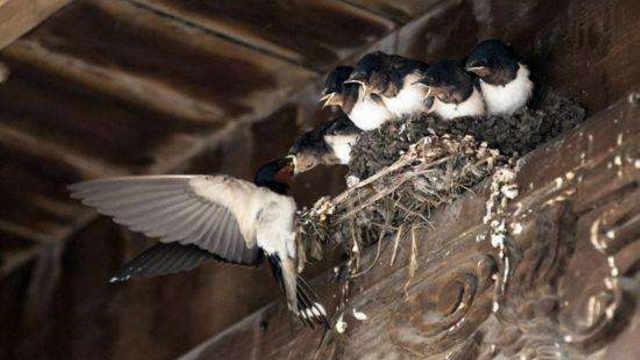 燕子是随便找地儿筑巢的吗?