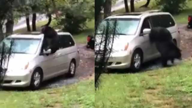 黑熊钻进家用车捣乱,后破窗而出