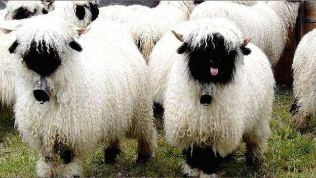 这些关于羊的冷知识,你知道几个?