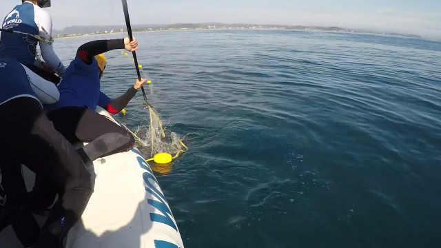 救援人员帮助幼年座头鲸脱困