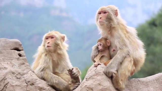 保护猕猴这件事,他已经做了27年