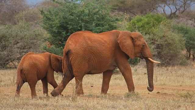 草原动物科普小百科之非洲象