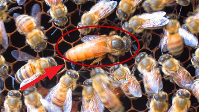 假如蜂王死了,剩下蜜蜂变得怎么样