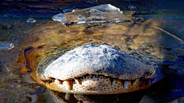 水面结冰后,短吻鳄这样过冬
