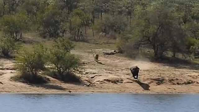 南非水牛艰难求生,遭狮子鳄鱼夹击