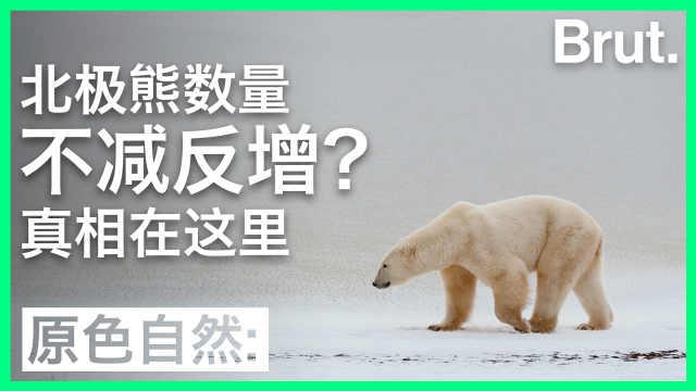 北极熊数量不减反增?真相在这里