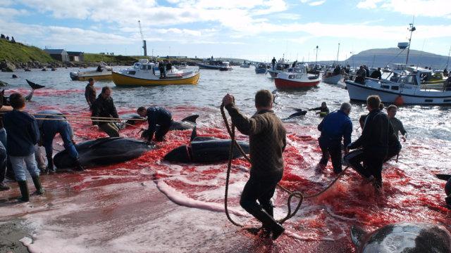丹麦法罗群岛集中捕杀250头鲸鱼