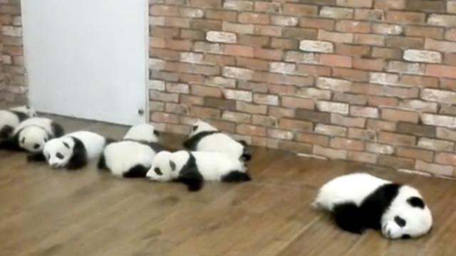 幼儿园熊猫宝宝,有种别趴着上课!
