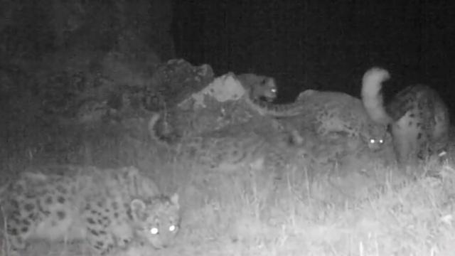 抓拍雪豹四胞胎,红外相机再送大礼