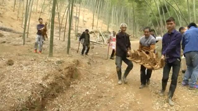 稀奇!浙江1米竹鞭上长了18根冬笋