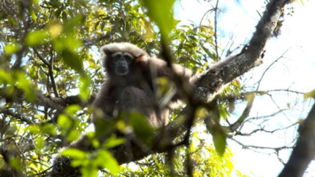 天行长臂猿!它由中国科学家命名