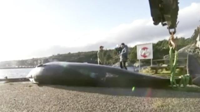 鲸鱼搁浅海岸,30个塑料袋塞满胃部