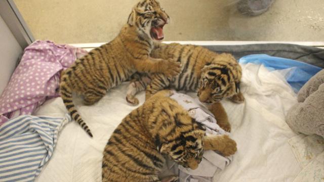 这三只新生的虎宝宝,被虎妈抛弃了