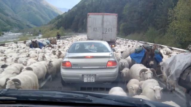 注意!前方有一大波绵羊出没
