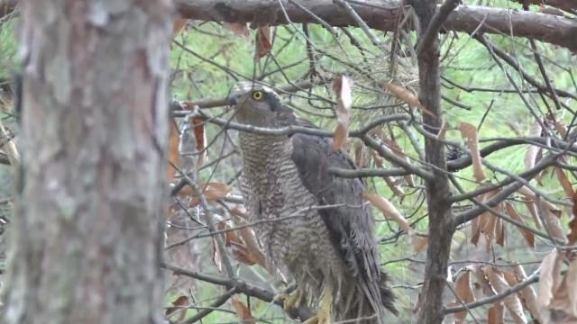 雀鹰偷袭养鸡场被擒,感激森警解救