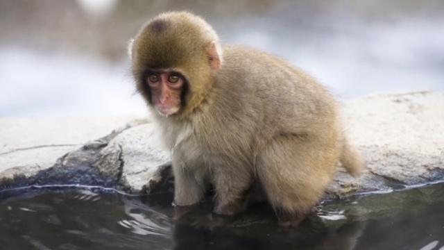 日本地狱谷奇观:雪猴组团泡温泉
