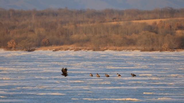 罕见!湿地3种猛禽,演和谐