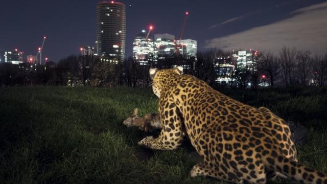 """伦敦街头惊现""""野生豹"""",路人吓尿"""