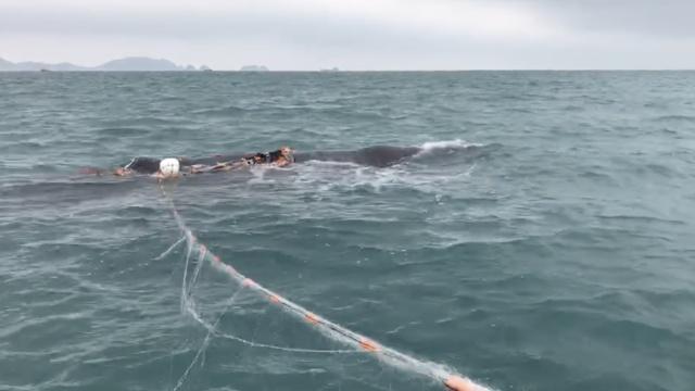 渔网困鲸!潜水施救,它喷水感谢不走