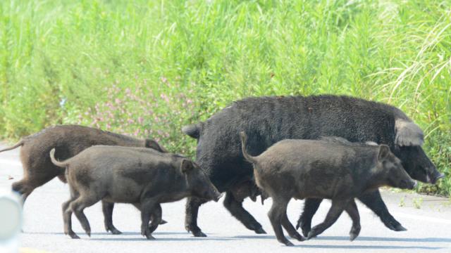 福岛核辐射隔离区,野猪下山横行