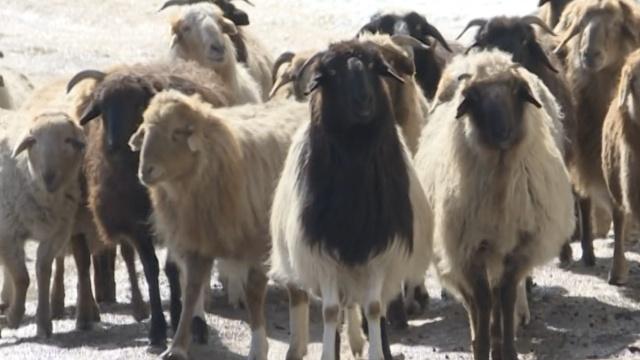 罕见四角羊现新疆,基因突变所致