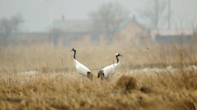 壮观!候鸟北归,吉林湿地雁鸣鹤舞