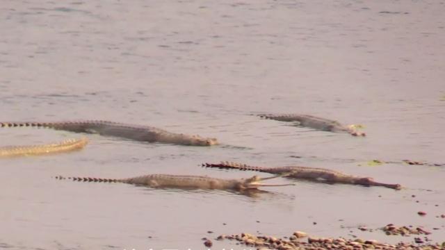徒步原始森林,河滩上趴满鳄鱼