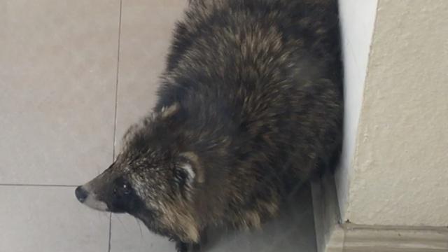 """街头惊现""""小浣熊"""",原来它是……"""
