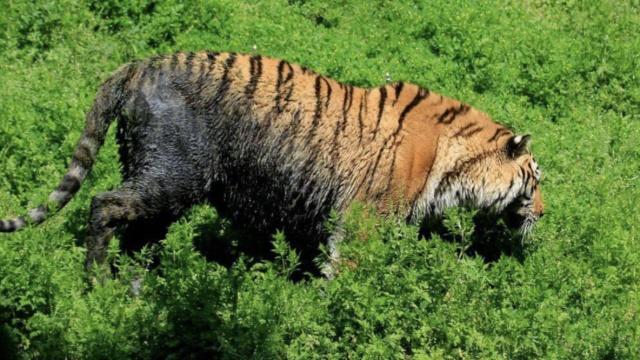 啥水池?老虎掉进去成黑虎,园方回应