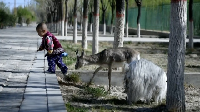 鹅喉羚流落居民家,小孩给它喂奶1年