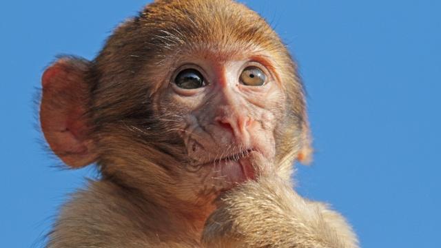 猴哥?半岁小猕猴出街,赚奶粉钱