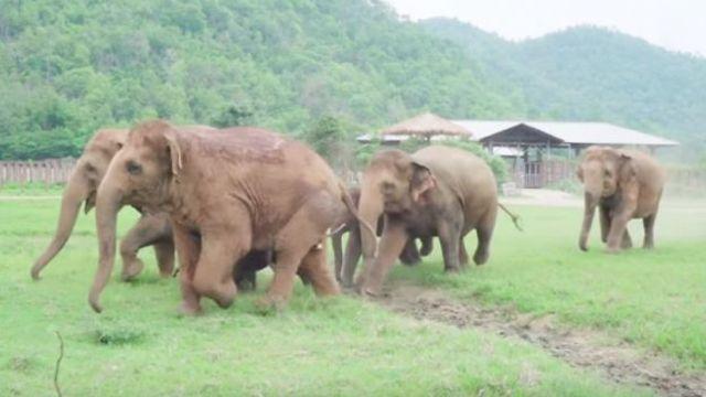 暖心!象群自发组团看望孤儿小象