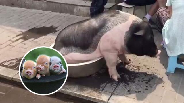 宠物猪300斤不算啥!养猪真不为致富