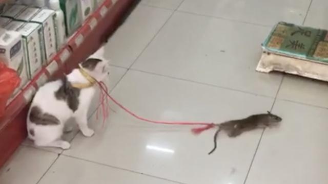 猫界耻辱!萌猫遇鼠,竟吓得连连后退