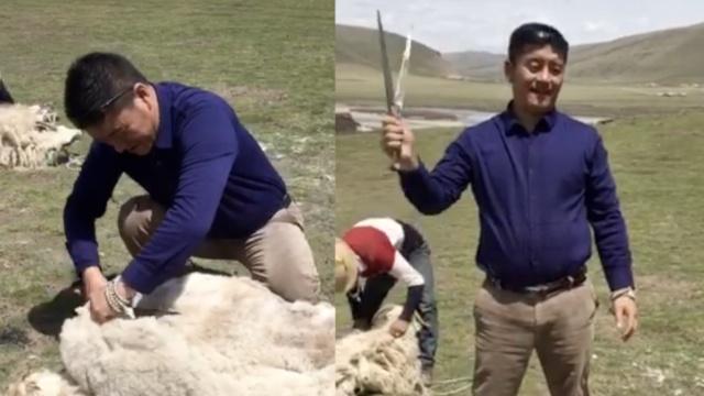 又到了剪毛时刻,绵羊一脸生无可恋