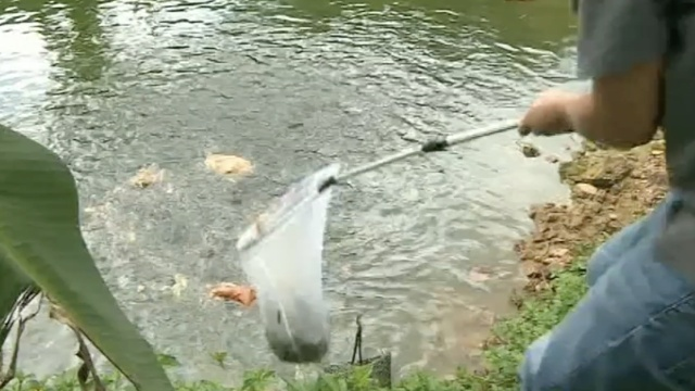 成堆臭肉苍蝇乱爬,他们拿来喂鱼