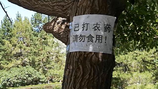 树上桑葚打了农药,吃货仍冒险采摘