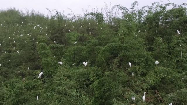万只白鹭绕竹间,如此美景你可见过