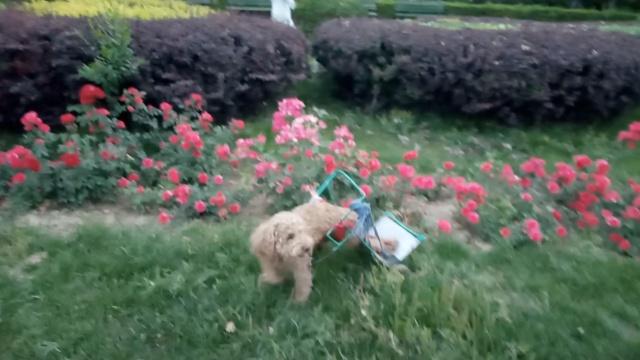 有爱!他亲做滚轮,让瘫痪狗狗跑起来