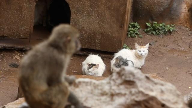 12只野猫给80只猕猴当保安,灭鼠患