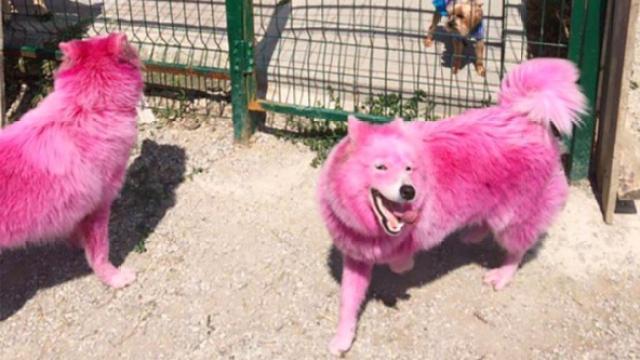 粉红色小狗遭遗弃,染色为拍照赚钱