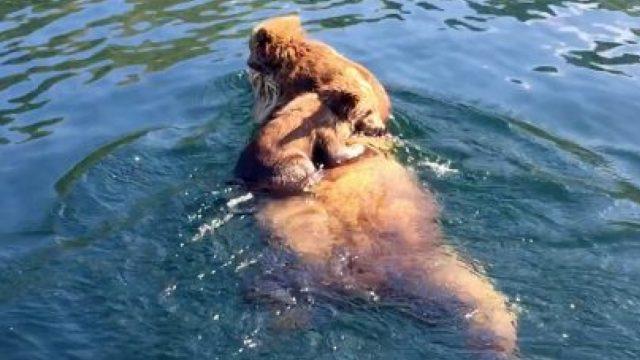 有爱!熊妈妈驮着两只熊宝宝过河啦