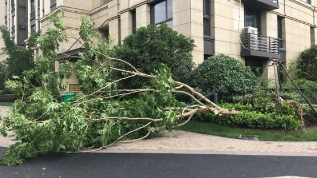 杭州大风吹倒成片树木